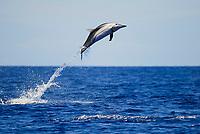 striped dolphin, Stenella coeruleoalba, calf, leaping, Azores, Portugal, Atlantic Ocean