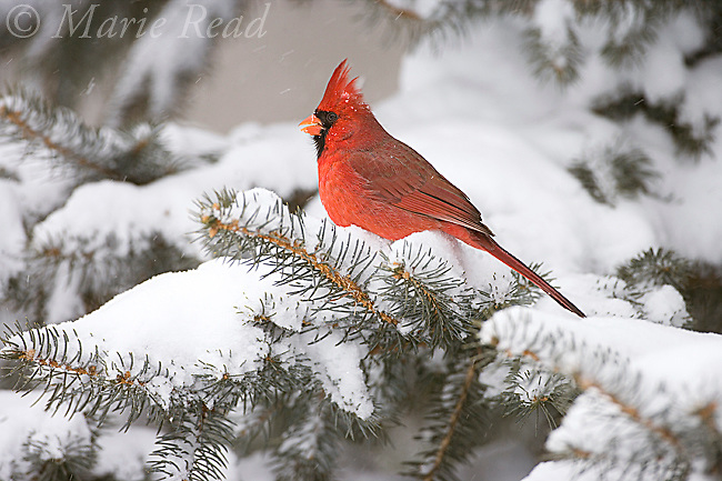 Northern Cardinal (Cardinalis cardinalis) male perched in snow-covered conifer, Freeville NY