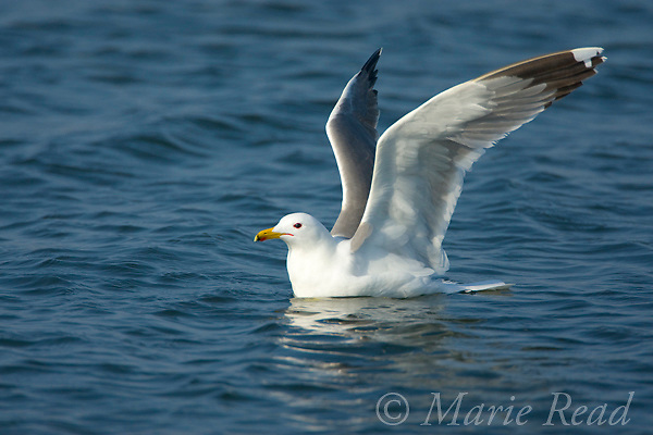 California Gull (Larus californicus), with raised wings about to take flight, Bolsa Chica Ecological Reserve, California, USA