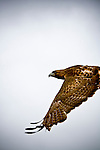 A redtail hawk in flight