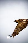 A redtail hawk in flight