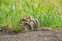 Young Golden-mantled Ground Squirrels