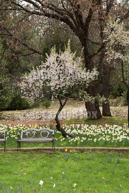 McLaughlin's Daffodil Hill in bloom, Volcano, Calif.<br /> <br /> fruit tree in bloom