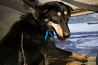 *Cory,* a dropped dog, looks out the window for a better view on the flight back to McGrath during the 2008 Iditarod