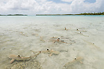Blue Lagoon, Rangiroa Atoll, Tuamotu Archipelago, French Polynesia; juvenile blacktip reef sharks swimming in the shallow waters of the blue lagoon