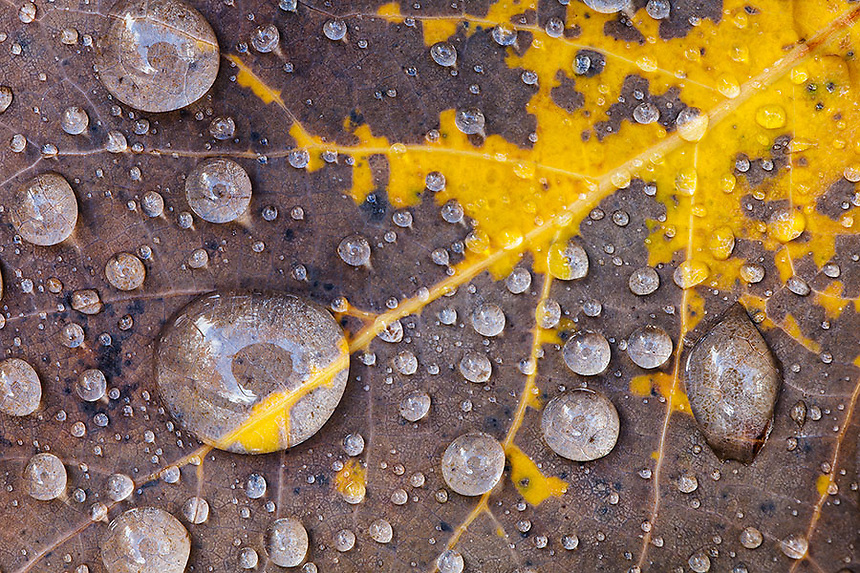 Rain droplets cover this Aspen leaf in Groton SF, Vermont