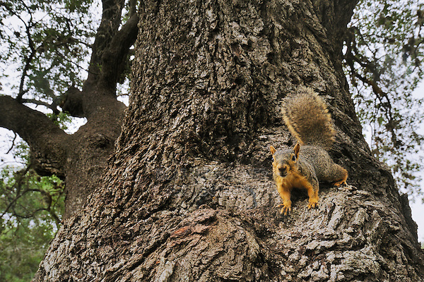 Eastern Fox Squirrel (Sciurus niger), adult on Live Oak (Quercus virginiana), Dinero, Lake Corpus Christi, South Texas, USA