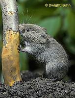 MU30-116z  Meadow Vole - eating bark of apple tree - Microtus pennsylvanicus