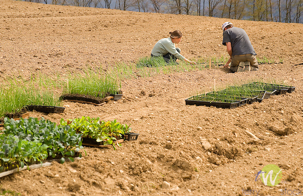 Walnut Run Farm. Spring planting. Lara and James planting onion starts.