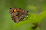 Meadow Brown Butterfly, Maniola jurtina, The Larches, Kent Wildlife Trust, UK, underside of wings, woodland