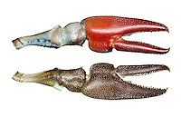 Signal Crayfish - Pacifastacus leniusculus
