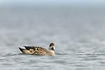 Crested Duck (Lophonetta specularioides), Punta Arenas, Strait of Magellan, Patagonia, Chile