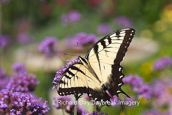 03023-023.19 Eastern Tiger Swallowtail (Papilio glaucus) on  Brazilian Verbena (Verbena bonariensis) Marion Co.  IL