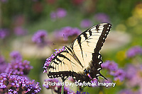 03023-023.19 Eastern Tiger Swallowtail (Papilio glaucus) on  Brazilian Verbena (Verbena bonariensis) Marion Co.  IL