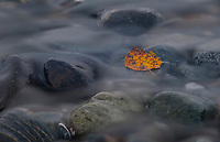 Autumn leaf in a tributary of the Matanuska River, Alaska.