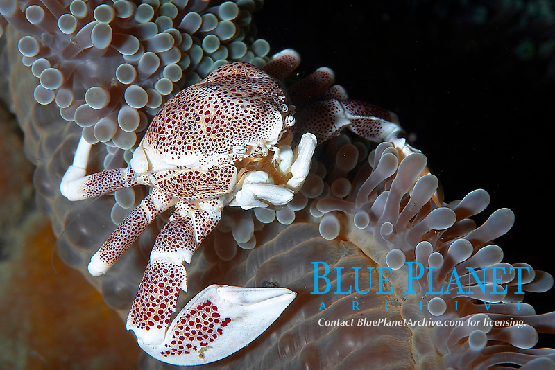 Porcelin anemone crab (neopetrolisthes ohshimai) on the edge of an anemone, Hairball too, Lembeh strait, Celebes sea, Pacific Ocean, Sulawesi, Indonesia, Asia