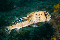 Spiny porcupinefish cleaned by Labroides dimidiatus, Diodon holocanthus, Sipadan Island, Borneo, Malaysia, Indopacific