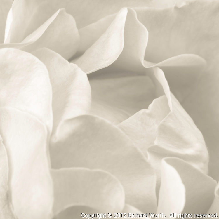 Black and white close-up of rose petals.