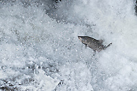 Chinook or king salmon (Oncorhynchus tshawytscha) jumping falls on spawning river. Pacific Northwest.