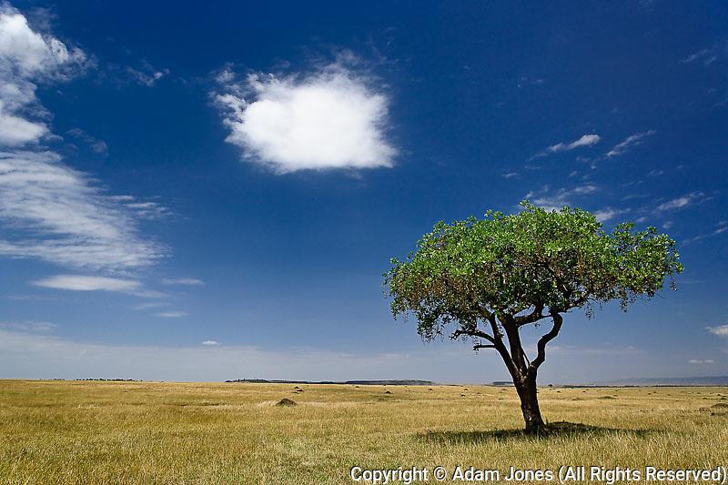 Sausage Tree, Kigelia africana, Masai Mara Game Reserve, Kenya, Africa