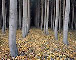 Morrow County, OR<br /> Understory of a hybrid poplar tree farm in autumn