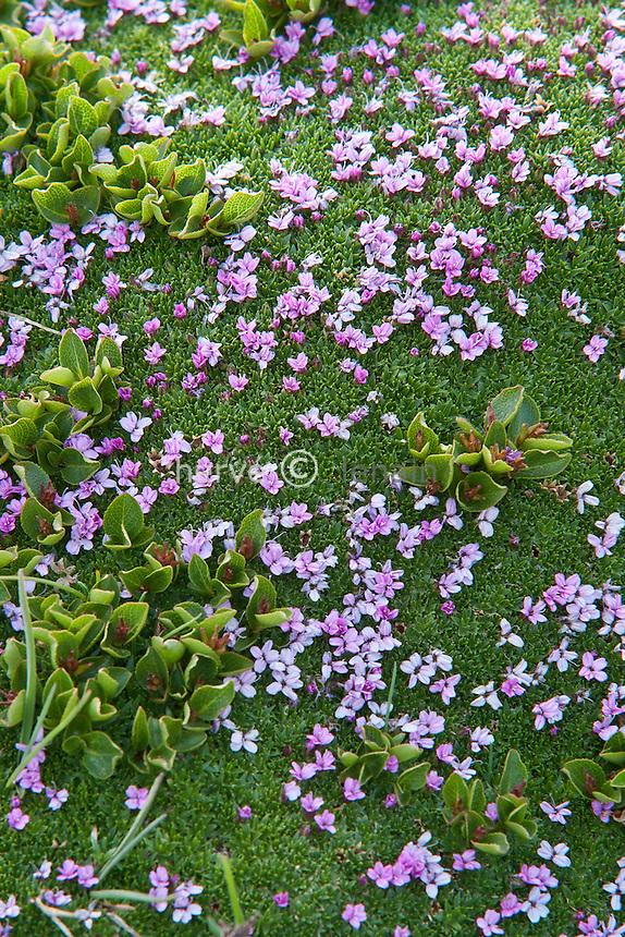 Silène acaule  ( Silene acaulis ) & saule herbacé ( Salix herbacea ), feuilles rondes & fruits //  moss campion, Silene acaulis and leaves of Dwarf Willow, Salix herbacea