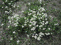 ENGLISH SCURVYGRASS Cochlearia anglica (Brassicaceae) Height to 35cm. Biennial or perennial of estuaries and coastal mudflats. FLOWERS are 10-14mm across with 4 white petals (Apr-Jul). FRUITS are elliptical and 10-15mm long. LEAVES are long-stalked and narrow; basal leaves taper gradually to the base while stem leaves clasp the stem. STATUS-Locally common around most coasts in suitable habitats.