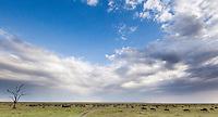 A herd of blue wildebeest grazing on the wide open expanse of the Mara plains, Kenya, Africa (photo by Wildlife Photographer Matt Considine)