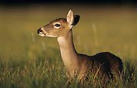 White-tailed Deer, Odocoileus virginianus, Fawn, Choke Canyon State Park, Texas, USA, Oktober 2003