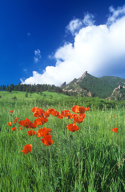 Oriental Poppies, Flatirons, Boulder, Colorado
