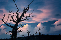 View of dead tree and sunset  from Bright Angel Point. North Rim of Grand Canyon National Park, Arizona