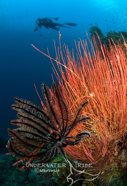 Sea whips, Menella sp., and crinoid with diver in background, Menjangan Island National Park, Pemuteran, Bali, Indonesia, Pacific Ocean