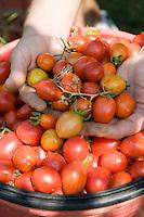 Detail of freshly harvested pomodorino piennolo del Vesuvio tomatoes in a field in Portici