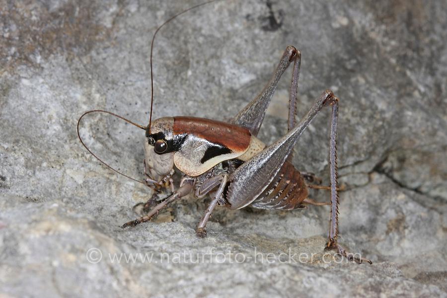 Dalmatinische Strauchschrecke, Männchen, Pholidoptera dalmatica, Dalmatian Dark Bush-cricket, Dalmatian Dark Bush cricket, male, Tettigoniidae
