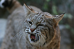 bobcat vocalizing