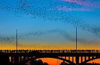 En esta imagen,  Cientos de personas se reúnen para ver a colonia de murciélagos urbana mas grande del mudo emerger de debajo del puente de la avenida de Congress murciélagos  durante un spectacular atardecer presentado los colores de azul cálido al naranja intenso y el amarillo.<br /> <br /> El puente de la avenida de Congress alberga la mayor colonia urbana de murciélagos en America del Norte. Entre 750,000 y 1.5 millones de murciélagos vuelan del anochecer Las mejore fecha de visualización : Abril-Octubre.