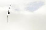 Cape Petrel (Daption capense) flying, Kaikoura, South Island, New Zealand