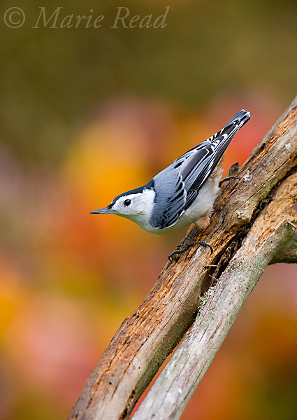White-breasted Red-breasted nuthatch (Sitta carolinensis ), New York, USA