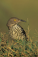 Long-billed Thrasher, Toxostoma longirostre, adult, Starr County, Rio Grande Valley, Texas, USA