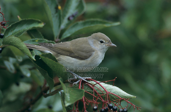 Garden Warbler, Sylvia borin,adult on Common Elderberry (Sambucus nigra), Oberaegeri, Switzerland, Europe