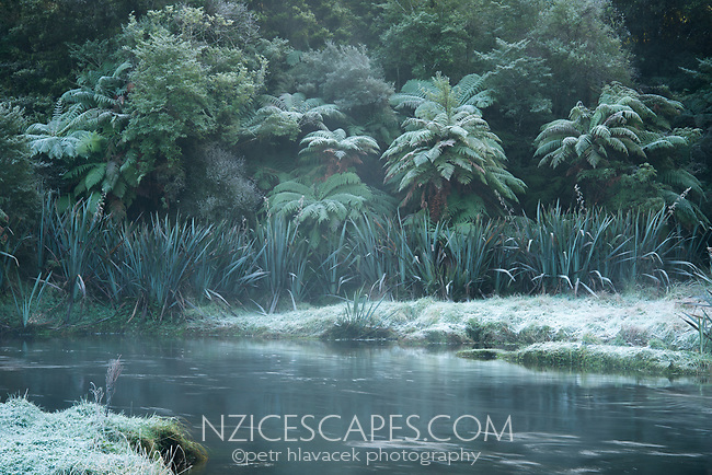 Native forest, tree ferns, ponga on banks of Okarito River in winter, Westland Tai Poutini National Park, West Coast, UNESCO World Heritage Area, New Zealand, NZ