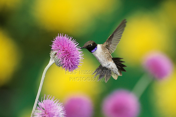 Black-chinned Hummingbird (Archilochus alexandri), male feeding on Texas thistle (Cirsium texanum), Dinero, Lake Corpus Christi, South Texas, USA
