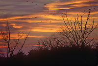 The sun sets over the Platte River and Sandhill Cranes fly in to spend the night on sandbars in the river, Rowe Sanctuary, Buffalo County, Nebraska