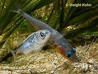 1S53-539z  Threespine Stickleback, male showing gravid female the entrance to his nest, Gasterosteus aculeatus, Freshwater male - Marine female