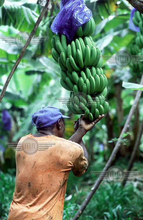 Cutting bananas on a family-run smallholding in Castle Bruce, in preparation for the fortnightly shipment to the UK under the Fairtrade scheme. 80% of Dominica's banana exports are sold by UK supermarket chain Tesco.
