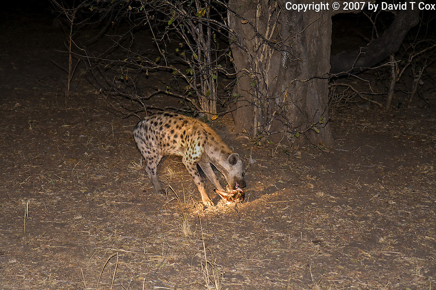 SpottedHyena picking scraps below Leapard night kill, South Luangwa Park, Zambia