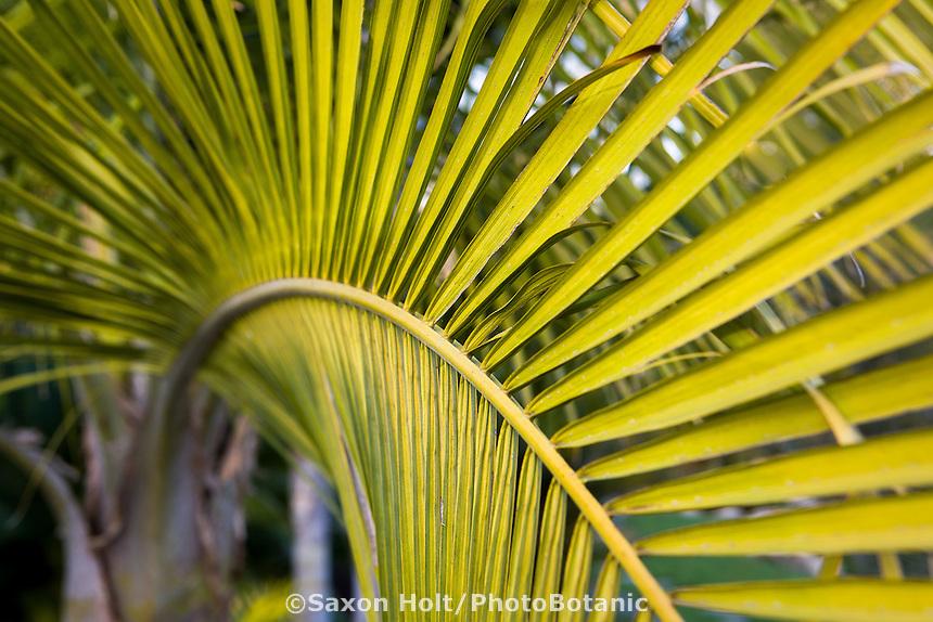 Leaf detail, Majesty Palm tree (Ravenea rivularis) in Southern California garden