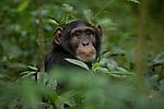 Africa, Uganda, Kibale National Park, Ngogo Chimpanzee Community. Wild Chimpanzee, portrait of Wes