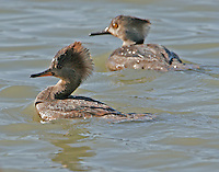 Hooded merganser females, one adult in breeding plumage, one first-spring bird