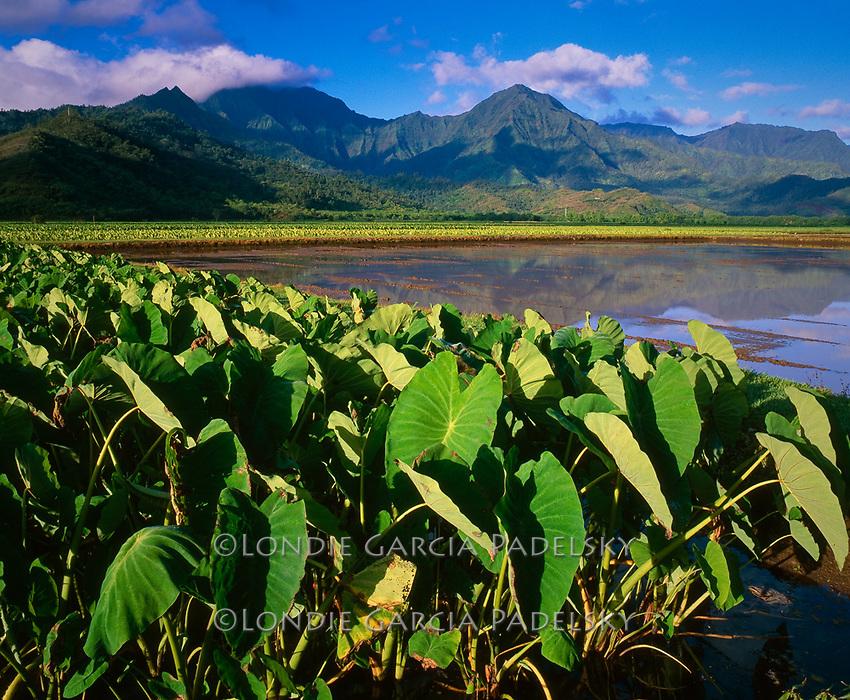 Taro plantation on Hanalei, Kauai Island, Hawaii